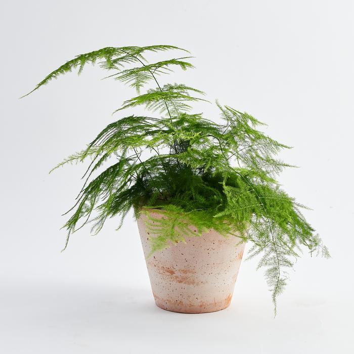 Asparagus Fern layak menjadi salah satu jenis tanaman hias indoor, foto: botaniqueworkshop.com