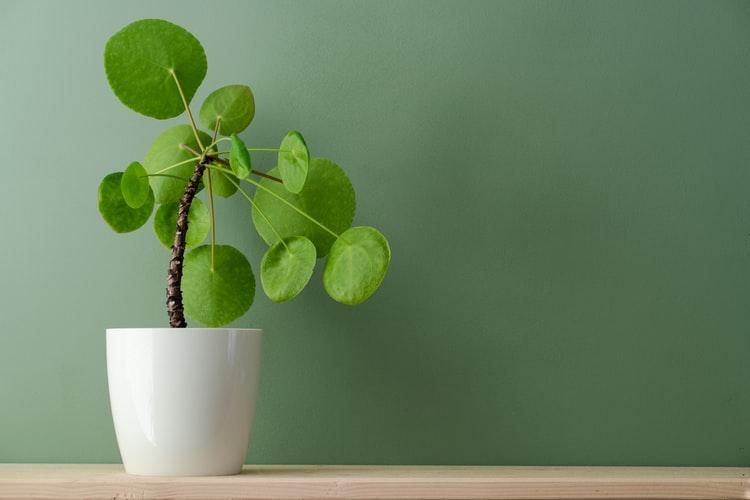Chinese Money layak menjadi salah satu jenis tanaman hias indoor, foto: unsplash.com