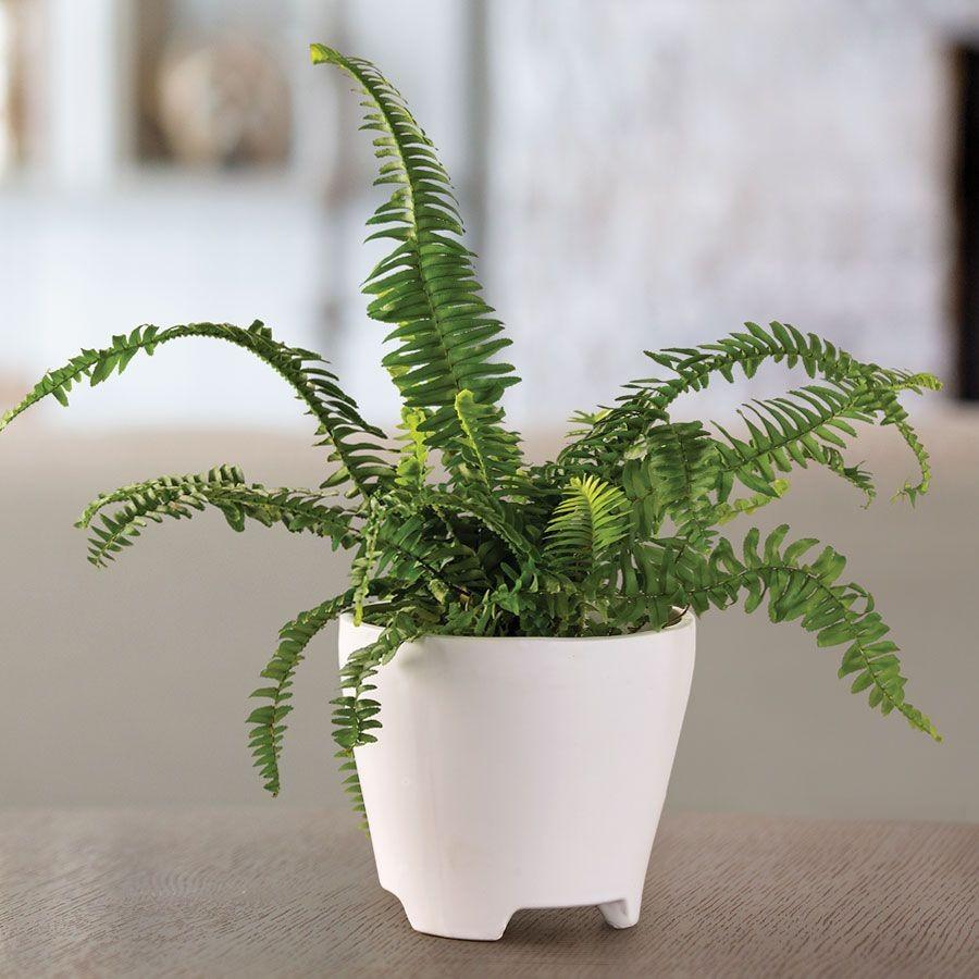 Pakis Boston layak menjadi salah satu jenis tanaman hias indoor, foto: idntimes.com