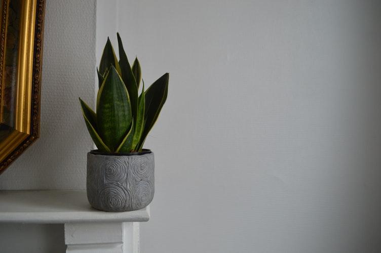 Lidah Mertua layak menjadi salah satu jenis tanaman hias indoor, foto: unsplash.com